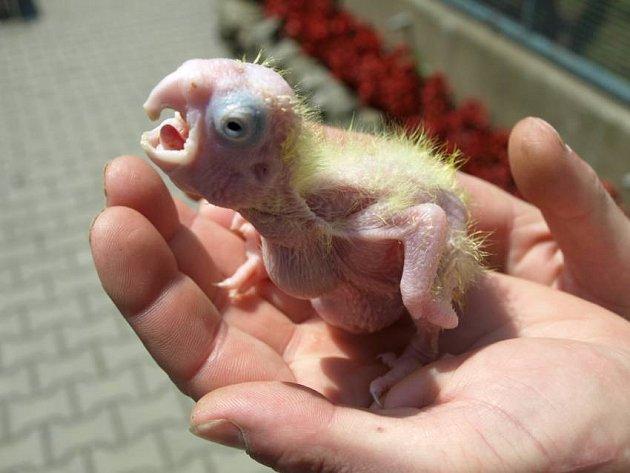 Na odchov vzácného papouška čekala děčínská zoo dlouhých dvacet let