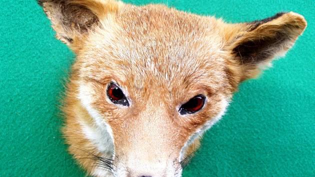 Ilustrační foto liška