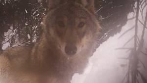 Vlk si v národním parku pohrál s fotopastí.