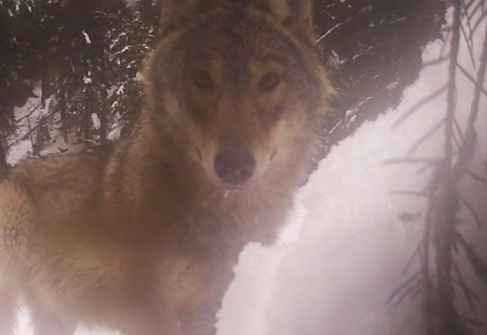 Vlka v národním parku zaujala fotopast.