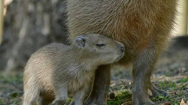 Mládě kapybary vodní se narodilo v děčínské zoo.