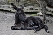 Samička osla domácího se narodila v děčínské zoo.