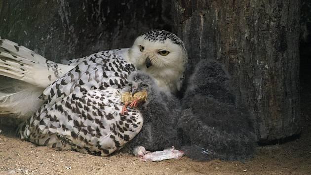 V zoo mláďata nezůstanou dlouho. Návštěvníci je budou moci obdivovat přibližně do září letošního roku.