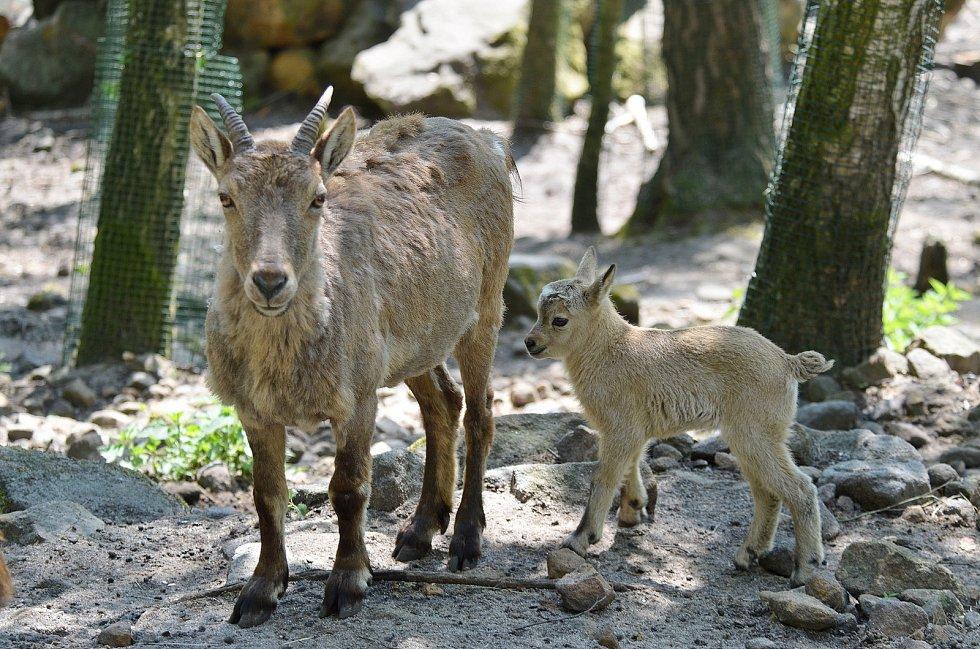 Děčínská zoologická zahrada hlásí další nový přírůstek. Na svět tam přišlo mládě kozorožce kavkazského.