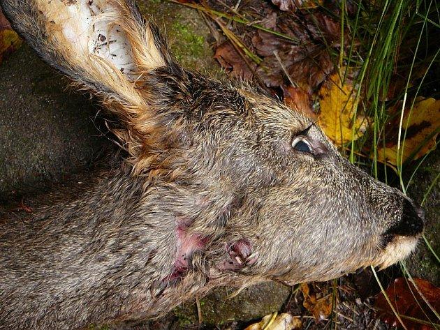 Nikoliv rys, ale toulavý či zaběhnutý pes zabil srnče, které našli turisté v Divoké soutěsce poblíž turistické cesty v Národním parku České Švýcarsko