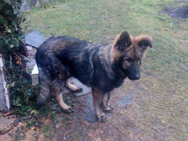 Max je osmiměsíční kavkazský pastevecký pes černohnědé barvy. Ztratil se letos 24.ledna dopoledne při procházce nad Babětínem vTěchlovicích.