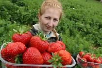 Na severu Čech začal sběr jahod.
