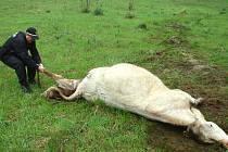 Zachránili život teleti i krávě