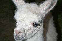 První mládě roku 2010 Lama krotká