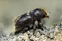 Lýkožrout smrkový, v dospělosti dosahuje velikosti 4 až 5 milimetrů.