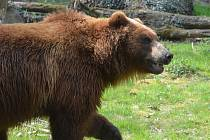 Medvěd Bruno je už ve venkovní expozici.