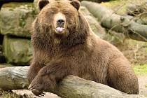 Medvěd grizzly z děčínské zoo.