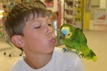 V kleci se papouščímu krasavci už nelíbilo a tak Koko vyráží na procházky po Děčíně  se svým dvanáctiletým chovatelem Tomášem Hodboděm.