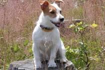Absolutním vítězem loňského ročníku soutěže MISSPES se stal tříletý Jack Russell terier jménem Puppy.