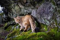 Kočka divoká na záběrech z fotopastí ve vojenském újezdu Hradiště.
