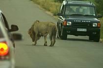 Víkend v Krugerově parku je občas nepříjemný spoustou aut. Lvům to evidentně moc nevadí.