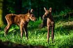 Bráškové, kteří se nedávno narodili v chomutovském zooparku, už mají jména. Říkají jim Marcus a Mathias.