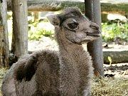Mladá velbloudí samička Odetka v chomutovském zooparku