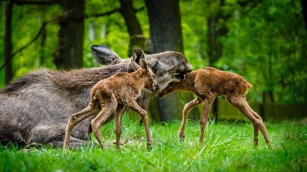 Losí máma zachránila svá mláďata nezvyklým kojením.