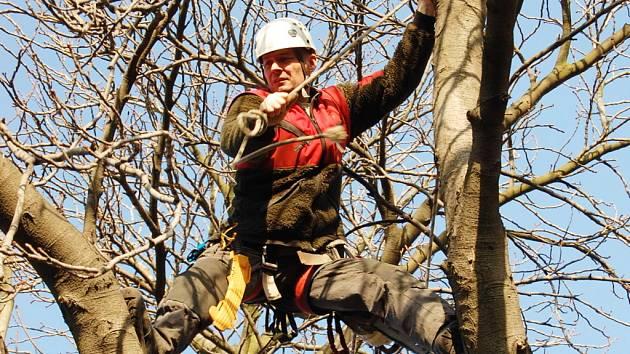 Stromolezec Rudolf  Müller včera ořezával větve kaštanů v chomutovské ulici Na Příkopech.
