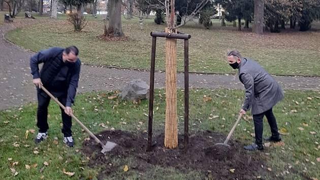 Lípa Olgy Havlové byla opět vysazena v lázeňském parku.