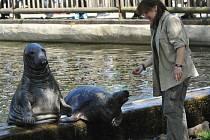 Tříčlenná tulení rodinka dostává krmení dvakrát denně. Pokaždé se u toho baví velké množství návštěvníků. Na snímku krmí ošetřovatelka Alena Fryčová.
