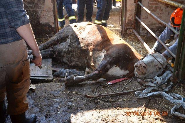 Vyproštění Krávy