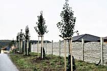 Nová alej okrasných hrušní byla vysazena v kadaňské lokalitě Strážiště III. Na čtyřicet stromů a realizaci výsadby získalo město Kadaň 150 000 korun od Nadace ČEZ právě díky grantu Stromy.