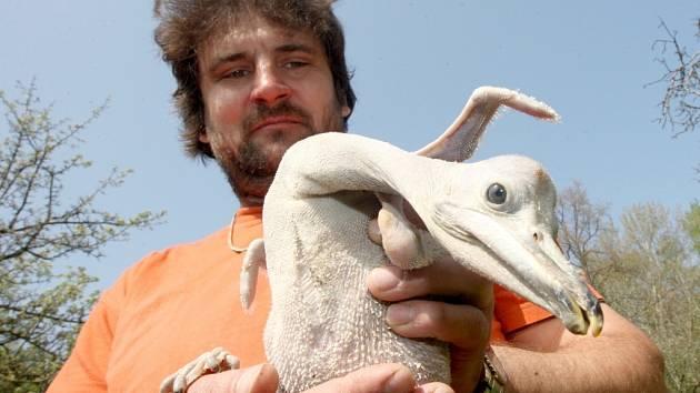 Ošetřovatelé se starají čtyřiadvacet hodin o teprve čtrnáctidenní mládě pelikána, které každé tři hodiny musí krmit. Na snímku ošetřovatel zooparku Petr Hora.