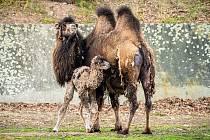 Po dvouleté přestávce se v chomutovském zooparku narodilo mládě velblouda dvouhrbého.