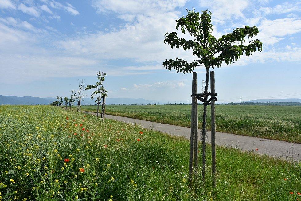 Ovocné stromořadí, které v Pesvicích vysázeli podél cyklotrasy na Vrskmaň.