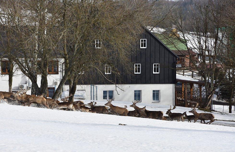 Stádo jelenů, které chová Farma Kýšovice.