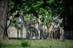 Mláďata jelenů bucharských v Zooparku Chomutov