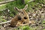 Nově narozená losí slečna v chomutovském zooparku