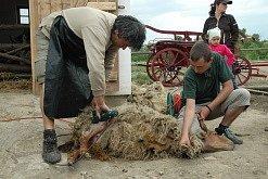 Otevření skanzenu v Podkrušnohorském zooparku. Stříhání ovce.