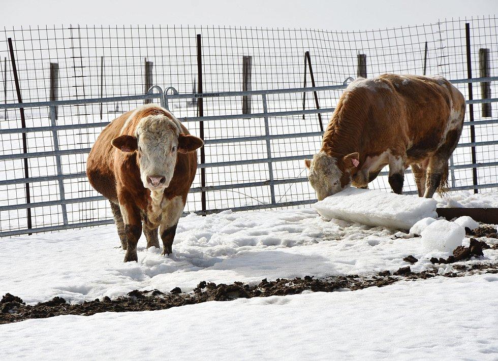 Plemenní býci na farmě ve Výsluní.