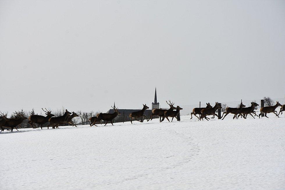 Stádo jelenů a daňků před kostelem ve Výsluní.