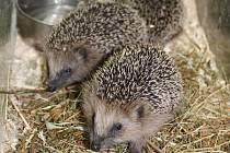 """""""ZAJATI"""" V zooparku se kupí zdraví ježci, které tam přinesli falešní zachránci."""