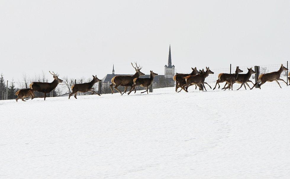 Kostel sv. Václava na pozadí stáda jelenů, které chovají ve Výsluní.