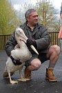 Chovatel Toša Stojanov s mladým pelikánem.