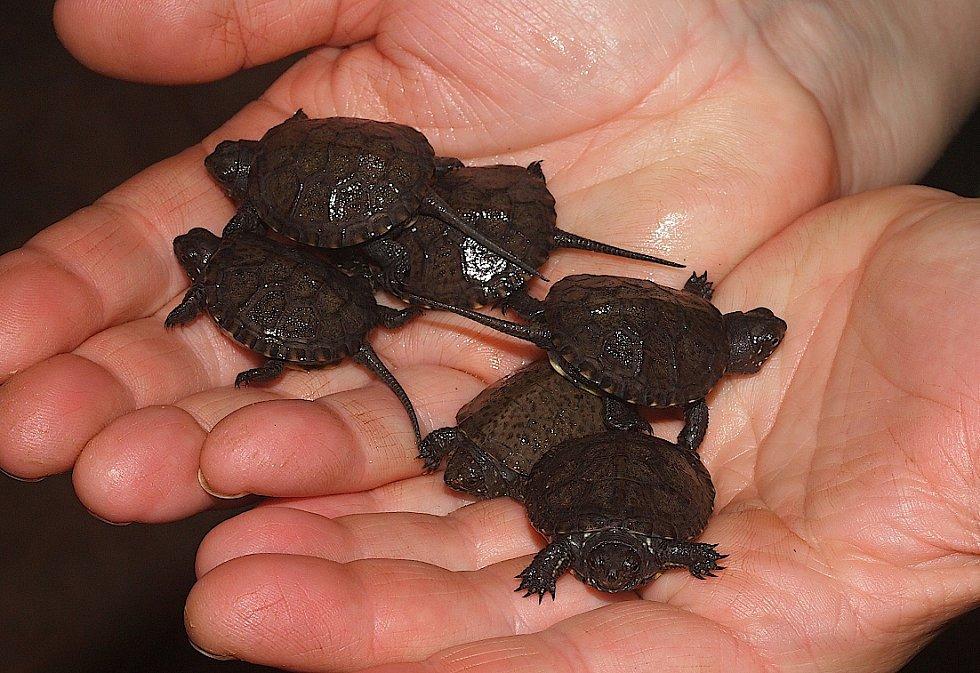 Želvy bahenní