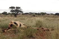 Smrt patří k buši stejně jako život. Tahle žirafa zašla stářím nebo nemocí. Predátoři, kteří by ji dokázali strhnout, tu totiž nejsou.