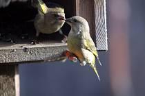 Ilustrační snímek. Ptáci v krmítku.