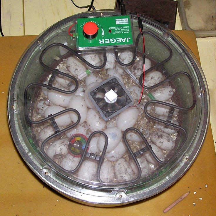 Inkubace vajec krokodýla čelnatého ve vermikulitu