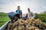 Sběr vína pod přehradou Nechranice v obci Vičice
