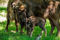 Chovatelé chomutovského zooparku hlásí radostnou zprávu: zubří samice Pomela přivedla na svět své první mládě.