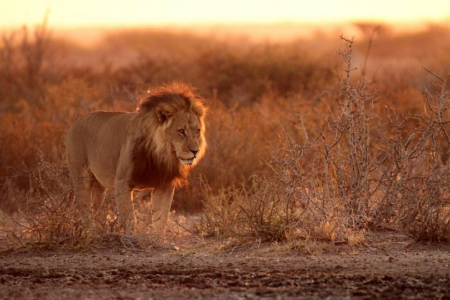 Ve čtyři hodiny ráno se na nás přišli podívat lvi. Když jsme na ně posvítili, stáhli se do křoví, odkud až do východu slunce výhružně mručeli. Za svítání se přišli napít. Central Kalahari, 2015, Botswana