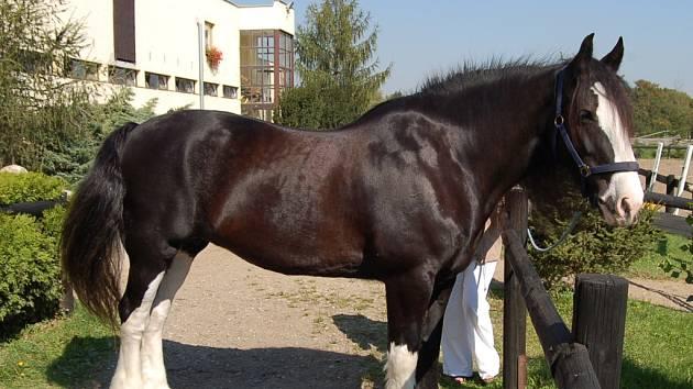 Koňská miss Connie.