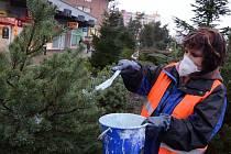 Paní Zdeňka Rezlerová natírá stromky.