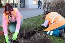 Pracovníci dostali za úkol vysázet dvě stě padesát sazenic meruzalky do mezer v plotech.